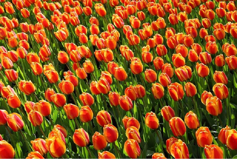 tulipany, kwiaty